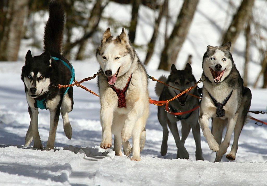 chiens de traîneau